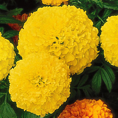 Marigold Perfection Yellow F1