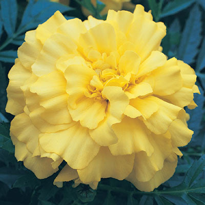 Marigold Zenith Lemon Yellow F1