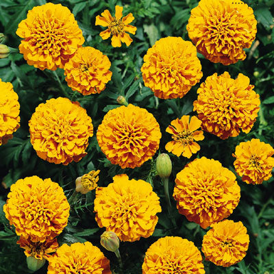 Marigold Boy Orange