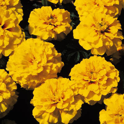 Marigold Janie Bright Yellow