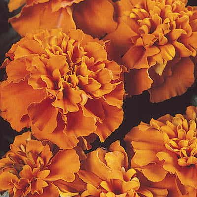 Marigold Janie Deep Orange