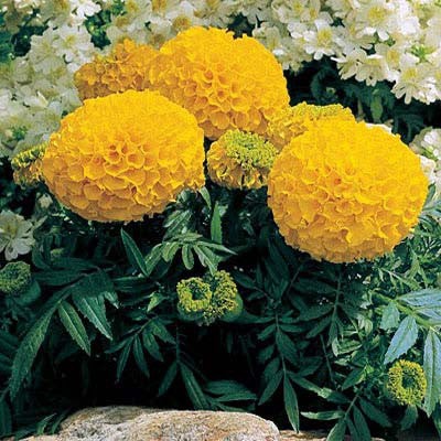 Marigold Antigua Gold F1 Seeds