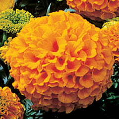 Marigold Antigua Orange F1