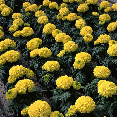 Marigold Antigua Yellow F1 Seeds