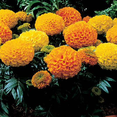 Marigold Antigua Mix F1