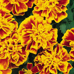 French Crested Marigolds