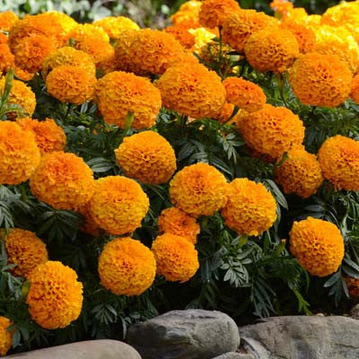 Marigold Marvel Orange F1 Seeds