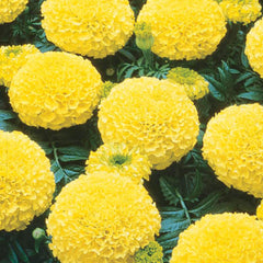 Marigold Marvel Yellow F1