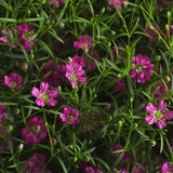 Gypsophila Gypsy Deep Rose