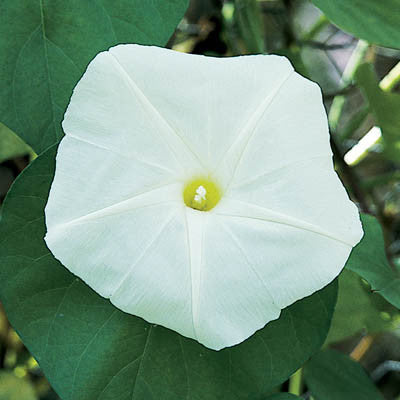 Ipomoea Moonflower Giant White