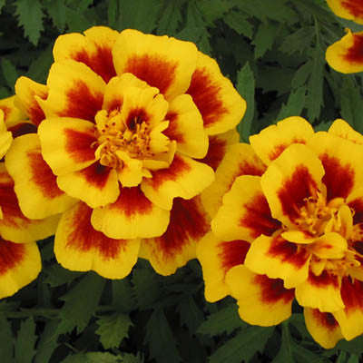 Marigold Safari Yellow Fire