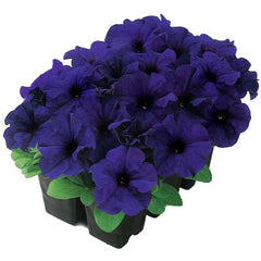 Petunia Dreams Midnight F1