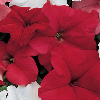 Petunia Dreams Red F1