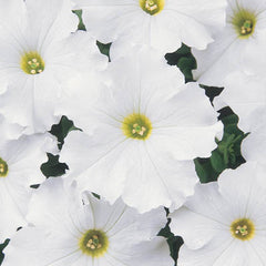 Petunia Dreams White F1