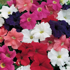 Petunia Dreams Mix F1