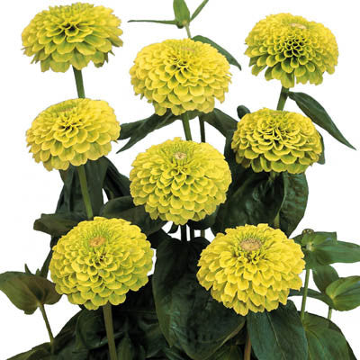 Zinnia Benary's Giant Lime