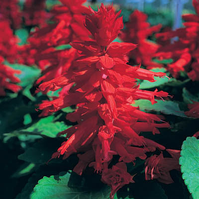 Salvia Sizzler Red Harris Seeds