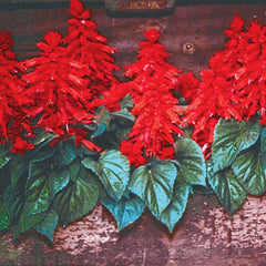 Salvia Vista Red
