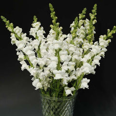 Snapdragon Rocket White F1