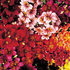 Salpiglossis Royale Mixture F1