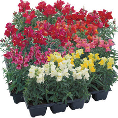 Snapdragon Floral Showers Mix F1