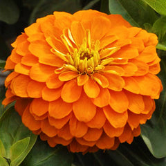 Zinnia Magellan Orange F1