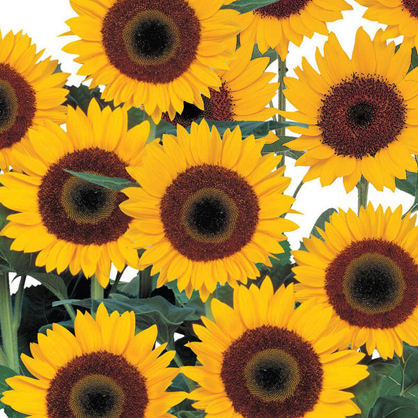 Sunflower Sunbright Supreme F1