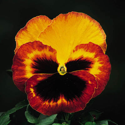 Pansy Delta Fire F1