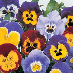 Pansy Joker Mix F2