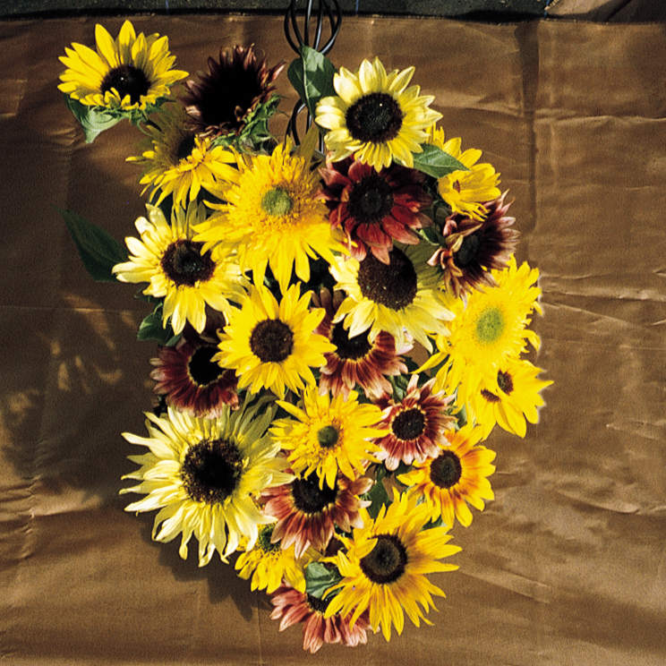 Sunflower Monet's Palette F1 Seeds