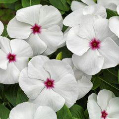 Vinca Pacifica XP Polka Dot