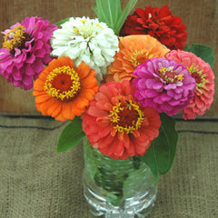 Zinnia Cut and Come Again Seed Mix