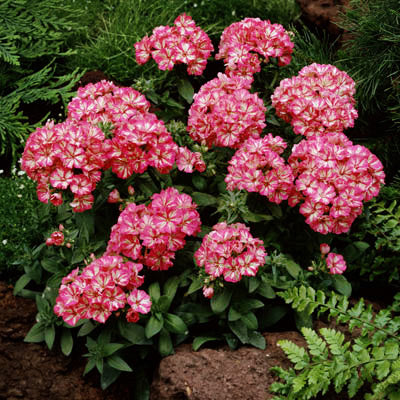 Phlox Grammy Pink and White F1