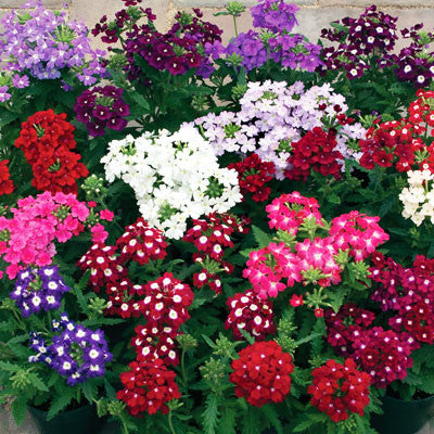 Verbena Obsession Mix