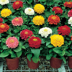 Zinnia Short Stuff Mix F1