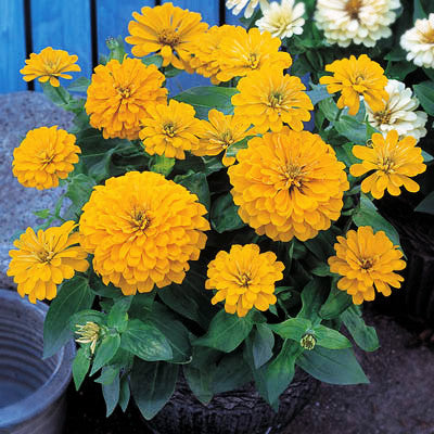 Zinnia Dreamland Yellow F1 Seeds Seeds
