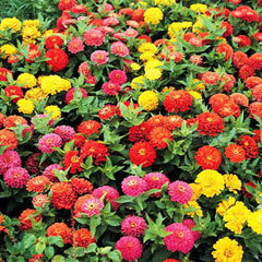 Zinnia Dreamland Mix F1 Seeds