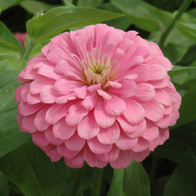 Zinnia Benary's Giant Bright Pink seeds