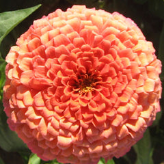 Zinnia Benary's Giant Salmon Rose Seeds