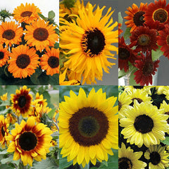 Sunflower Cut Flower Collection