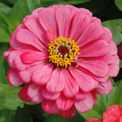 Zinnia Benary's Giant Carmine Rose seeds