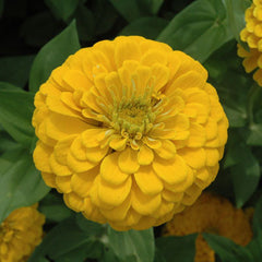 Zinnia Benary's Giant Golden Yellow Seeds