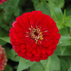 Zinnia Benary's Giant Deep Red Seeds