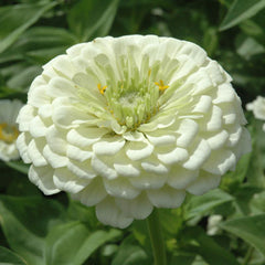 Zinnia Benary's Giant White