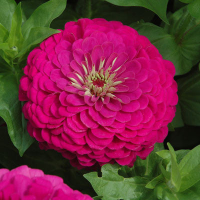 Zinnia Benary's Giant Purple