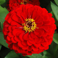 Zinnia Benary's Giant Scarlet Seeds