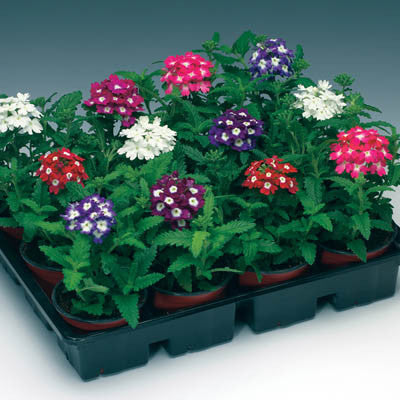 Verbena Obsession Eyed Mix Harris Seeds