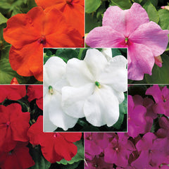Impatiens Accent Primary Colors Collection F1
