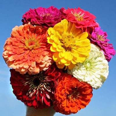 Zinnia Benary's Giant Collection Seeds
