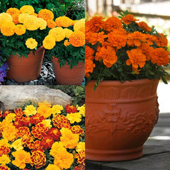 Marigold Collection